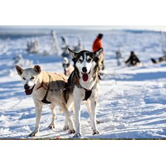 Dogsledding in Sälen