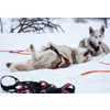 Gift card, Dogsledding in Sälen